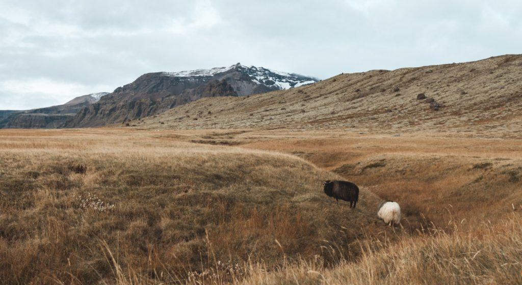 Mouton islandais dans les pâturages
